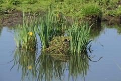 Das eurasische Blässhuhn, Fulica Atra sitzt auf dem Nest im Frühjahr Stockbild