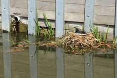 Das eurasische Blässhuhn, Fulica Atra sitzt auf dem Nest im Frühjahr Stockfotografie