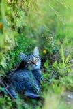 Das Europäisch Kurzhaar, europäische oder keltische auch genannt das shorthair, ist eine Zucht, die aus Europa stammt Lizenzfreie Stockfotografie