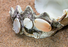 Das exotische Seeshell mit einer Perle bördelt Lügen auf sa Stockfotografie