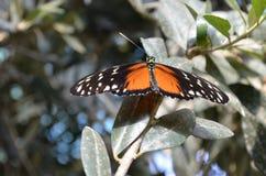 Das Fanendstück eines Schmetterlinges Lizenzfreie Stockfotos