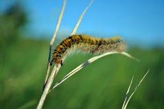 Das farbige Gleiskettenfahrzeug Lasiocampa trifolii Grases eggar flockiger Tiger, das auf graues Gras mit zwei schwarzen Ameisen  stockbilder
