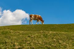 ` Das farting Kuh ` - eine Kuh u. eine Wolke Stockfotos