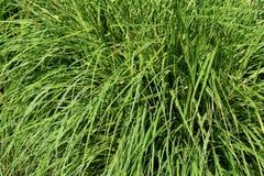 Das Fassadengrün lässt Gras für Naturhintergrund Lizenzfreie Stockfotos