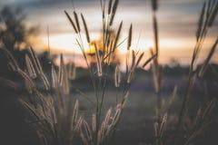 Das Feder pennisetumin das Feld bei Sonnenuntergang lizenzfreies stockfoto