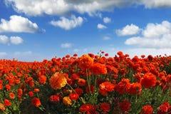 Das Feld der blühenden rot-orange Blumen Lizenzfreies Stockbild