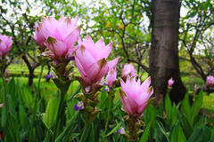 Das Feld der Kurkuma Alismatifolia Blumen Lizenzfreie Stockfotos