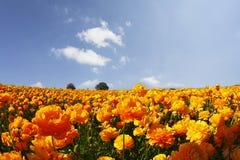 Das Feld der orange Butterblumeen auf einem Sonnenuntergang Lizenzfreies Stockbild