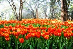 Orange Tulpe Lizenzfreie Stockfotos