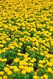 Das Feld der Ringelblume Lizenzfreies Stockbild