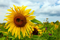Das Feld der Sonnenblumen Lizenzfreie Stockfotos
