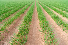Das Feld-Frühlingszwiebel-Kalifornien-Landwirtschafts-Lebensmittel-Züchter des Landwirts Lizenzfreie Stockfotografie