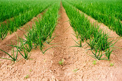 Das Feld-Frühlingszwiebel-Kalifornien-Landwirtschafts-Lebensmittel-Züchter des Landwirts Stockfoto
