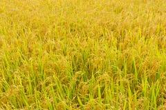 Das Feld golden Stockfotos