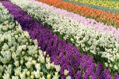 Das Feld im Frühjahr gestreift bis zum rotem Tulpen-, Purpurrotem und rosahyacints, weißem und Gelbem dafodils sonnigem Tag in Ho stockfotos