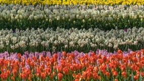 Das Feld im Fr?hjahr gestreift bis zum rotem Tulpen-, Purpurrotem und rosahyacints, wei?em und Gelbem dafodils sonnigem Tag in Ho stockfotografie
