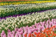 Das Feld im Fr?hjahr gestreift bis zum rotem Tulpen-, Purpurrotem und rosahyacints, wei?em und Gelbem dafodils sonnigem Tag in Ho stockfotos