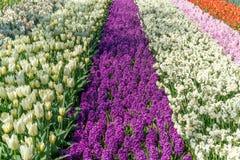 Das Feld im Fr?hjahr gestreift bis zum rotem Tulpen-, Purpurrotem und rosahyacints, wei?em und Gelbem dafodils sonnigem Tag in Ho stockbilder