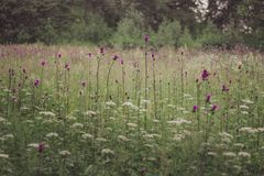 Das Feld mit purpurroten Blumen Stockbild