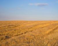 Das Feld nach dem Weizen, der unter einem blauen Himmel erntet Lizenzfreie Stockfotografie