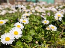 Das Feld von Gänseblümchen an einem sonnigen Tag im Frühjahr stockbild