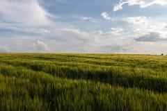Das Feld von grünen Hafern wird durch die Glättungssonne erleuchtet stockfotografie