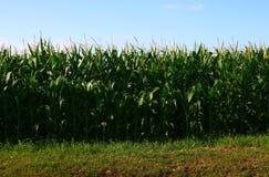 Das Feld von Mais in Frankreich Stockfoto
