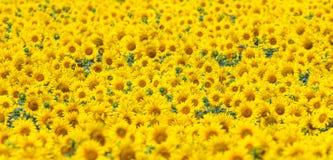 Das Feld von Sonnenblumen Lizenzfreies Stockbild