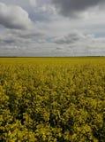 Das Feld wird mit hellen gelben Blumen punktiert Stockfotografie