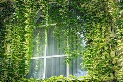 Das Fenster des Schlafzimmers wurde mit wilden Trauben auf der äußeren Wand mit seiner Rebe mit frischen grünen Blättern bedeckt lizenzfreie stockfotos
