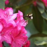 Das Fliegen mogeln Biene durch Stockfoto
