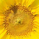 Das Foto des Sonnenblumenabschlusses oben Stockfotografie