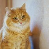 Das Foto einer durchdachten roten Katze auf einem hellen Hintergrund stockbilder