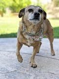 Das Foto eines Hundes, der beiseite schaut Lizenzfreie Stockfotografie