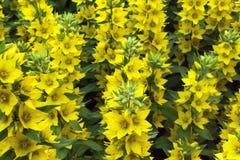 Das Foto stellt viele gelben Blumen dar Lizenzfreies Stockbild