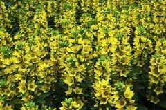 Das Foto stellt viele gelben Blumen dar Stockfoto