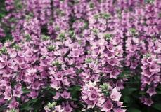 Das Foto stellt viele rosa Blumen dar Stockbild