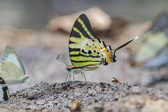 Das Fourbar Swordtail Stockfotos