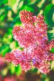 Das Frühlings-purpurrote Blühen auf dem Kastanienbaum, grüner Natur-Garten, Sommer und entspannen sich, organisch, getont Stockfotografie