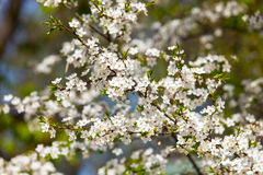 Das Frühlingsblühen Lizenzfreie Stockfotografie