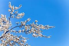 Das Frühlingsblühen Lizenzfreies Stockbild