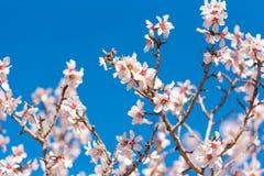 Das frühlingshafte Blühen eines Mandelbaums Rosafarbene Blumen auf Hintergrund des blauen Himmels Lizenzfreies Stockbild