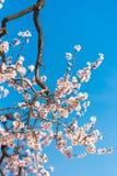 Das frühlingshafte Blühen eines Mandelbaums Rosafarbene Blumen auf Hintergrund des blauen Himmels vertikal Lizenzfreies Stockfoto