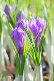 Das Frühjahrblühen des purpurroten Krokusses des ersten Frühlinges blüht Stockbild