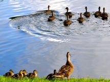 Das ganzes kleine Duckies in Folge Lizenzfreies Stockbild