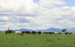 Das Gaucho, das Kühe in Herden lebt, nähern sich Salta, Argentinien Stockbild
