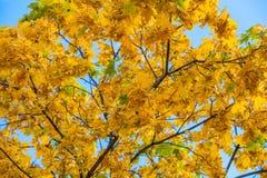 Das Gelb färben verlässt auf den Niederlassungen eines Ahornbaums auf Hintergrundnahaufnahme des blauen Himmels Stockfotos
