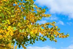 Das Gelb färben verlässt auf den Niederlassungen eines Lindenbaums auf Hintergrund des blauen Himmels Lizenzfreie Stockfotos
