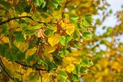 Das Gelb färben verlässt auf den Niederlassungen eines Lindenbaums auf Hintergrundnahaufnahme des blauen Himmels Lizenzfreie Stockfotos
