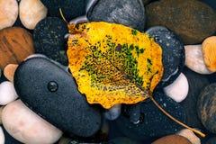 Das gelbe bodhi lässt das Fallen auf dem Flusssteinzen, ruhig, Lizenzfreie Stockbilder